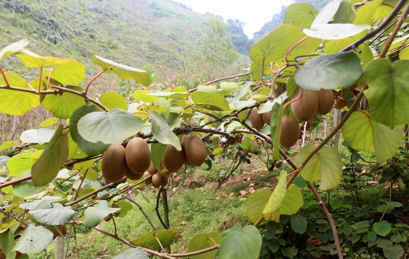 किवी खेती : दोलखामा साँढे ६ करोडको अनुदान कार्यक्रम, कृषकहरुबाट मागियो प्रस्ताव